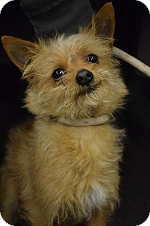 Chihuahua/Yorkie, Yorkshire Terrier Mix Dog for adoption in Bay Shore, New York - Brownie