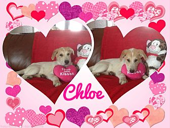Collie/Labrador Retriever Mix Puppy for adoption in Houston, Texas - Chloe