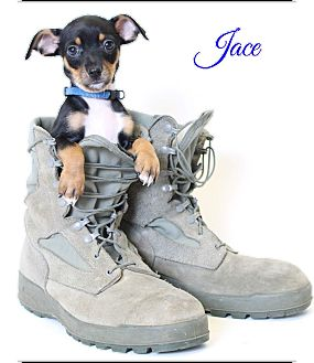 Rat Terrier Mix Puppy for adoption in Metairie, Louisiana - Jace
