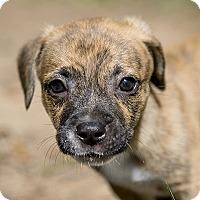 Adopt A Pet :: Twizzler - Durham, NC
