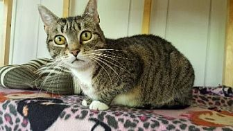 Domestic Shorthair Cat for adoption in Stroudsburg, Pennsylvania - Lil Bits