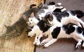 Domestic Mediumhair Kitten for adoption in DeLand, Florida - KITTENS - A PACK OF FURRIES