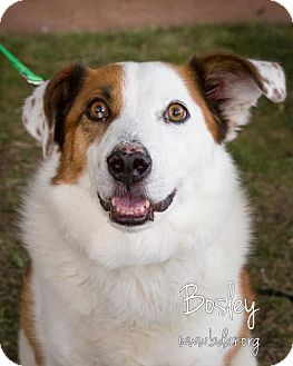 Australian Shepherd Mix Dog for adoption in Cheyenne, Wyoming - Bosley