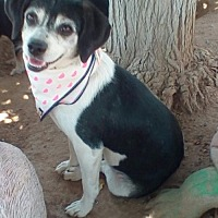 Beagle/Shih Tzu Mix Dog for adoption in Apple Valley, California - Missy