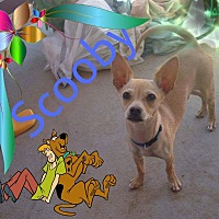 Chihuahua Puppy for adoption in Hesperia, California - Scooby