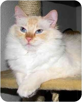 Ragdoll Cat for adoption in Keizer, Oregon - Wilson
