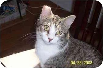 Domestic Shorthair Cat for adoption in whitestone, New York - molly