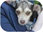 Chihuahua/Beagle Mix Dog for adoption in Oakland Gardens, New York - Trudy