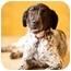 Photo 1 - English Pointer Mix Dog for adoption in Portland, Oregon - Liberty
