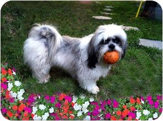 Lhasa Apso Dog for adoption in Los Angeles, California - CARINA