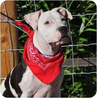 American Bulldog Mix Puppy for adoption in Aurora, Colorado - Libby