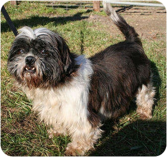 Shih Tzu Dog for adoption in Newtown, Connecticut - LACEY COURTESY POSTING