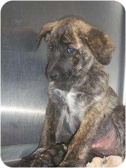 Mountain Cur Mix Puppy for adoption in Williston, Vermont - Wylie