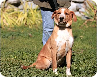 Australian Cattle Dog/Labrador Retriever Mix Dog for adoption in Colville, Washington - Robbie
