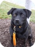 Labrador Retriever Mix Dog for adoption in Salem, Massachusetts - Kyle