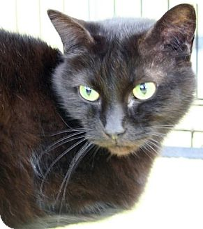 Domestic Shorthair Cat for adoption in Asheville, North Carolina - Althea