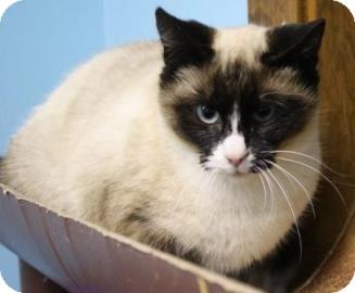 Snowshoe Cat for adoption in West Des Moines, Iowa - Sophia
