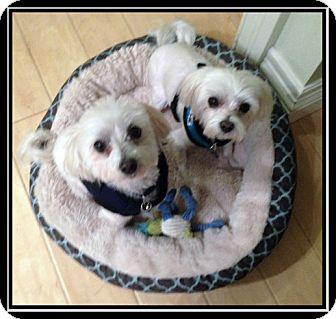 Maltese Dog for adoption in Ft. Bragg, California - Brit & Beau