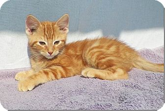 Domestic Shorthair Kitten for adoption in Sullivan, Missouri - Gamma