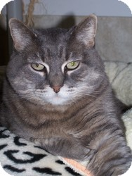 Domestic Shorthair Cat for adoption in Quilcene, Washington - Gertie