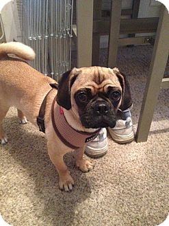 Pug/Beagle Mix Puppy for adoption in Huntingdon Valley, Pennsylvania - Maggie