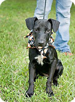 Labrador Retriever Mix Dog for adoption in Portsmouth, Rhode Island - Lexi-w/video!
