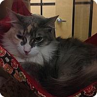 Adopt A Pet :: Tinkie  (lilac) - Monroe, GA