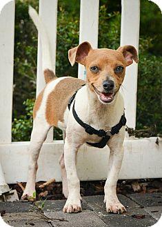 Fox Terrier (Toy)/Italian Greyhound Mix Puppy for adoption in Myakka City, Florida - Banjo