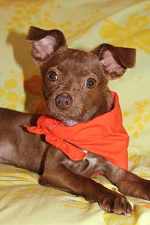Chihuahua Mix Dog for adoption in Union City, Tennessee - BamBam