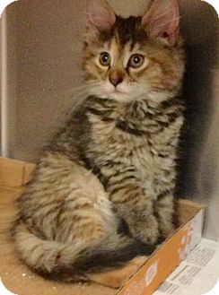 Maine Coon Kitten for adoption in East Brunswick, New Jersey - Fluffy