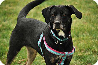 German Shepherd Dog/Beagle Mix Dog for adoption in St. Charles, Illinois - Betsy