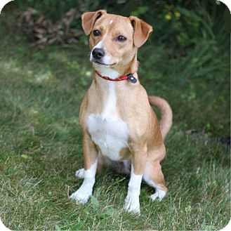 Dachshund/Terrier (Unknown Type, Small) Mix Dog for adoption in South Haven, Michigan - Socks