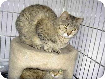 Bengal Cat for adoption in Superior, Colorado - Shina