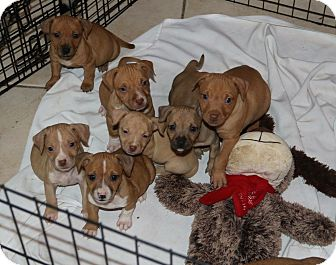 Terrier (Unknown Type, Medium)/Beagle Mix Puppy for adoption in Pompano Beach, Florida - Thanksgiving Pups