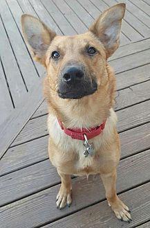 Belgian Malinois Mix Dog for adoption in Hewitt, New Jersey - Keanu