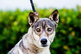 Husky/Jindo Mix Dog for adoption in San Diego, California - Rome