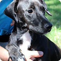 Adopt A Pet :: Giselle - Glastonbury, CT