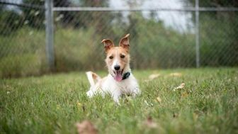Jack Russell Terrier Mix Dog for adoption in Belleville, Ontario - Jack