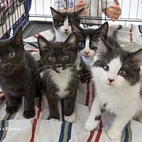 Adopt A Pet :: Tuna - Merrifield, VA