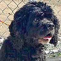 Adopt A Pet :: Curly Bill 17111 - Parker, CO