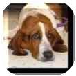 Basset Hound Dog for adoption in Marietta, Georgia - Layla
