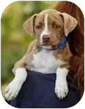 Beagle/American Pit Bull Terrier Mix Puppy for adoption in Sacramento, California - Latte lil darling