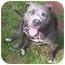 Photo 3 - American Pit Bull Terrier Mix Dog for adoption in Salem, Oregon - Bella Blue