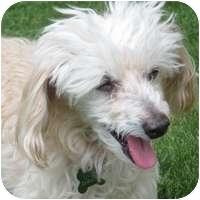 Poodle (Miniature) Dog for adoption in Denver, Colorado - Samantha
