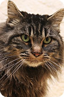 Domestic Longhair Cat for adoption in Bellingham, Washington - Farrah