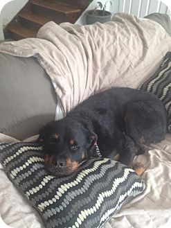 Rottweiler Dog for adoption in Brewster, New York - LuLu