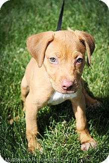 Vizsla Mix Puppy for adoption in Broomfield, Colorado - Kelsey