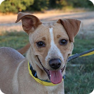 Australian Cattle Dog/Collie Mix Dog for adoption in Columbia, Illinois - Peyton