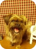 Yorkie, Yorkshire Terrier/Shih Tzu Mix Dog for adoption in Urbana, Ohio - Sully