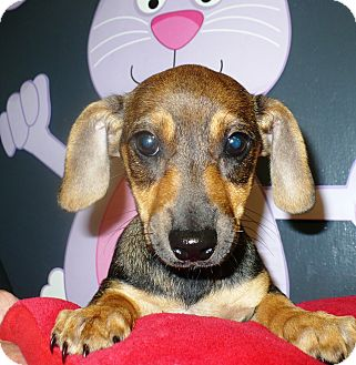 Dachshund Mix Puppy for adoption in Eastpoint, Florida - Tish